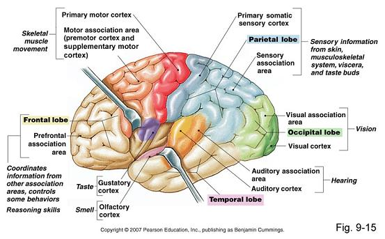 location of brain functions
