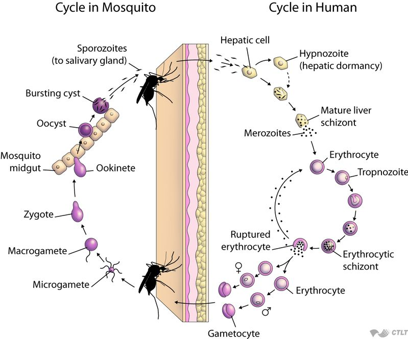 Life Cycle of Malaria Parasite; Sexual Phase, Sporogony; Asexual phase, Schizogony