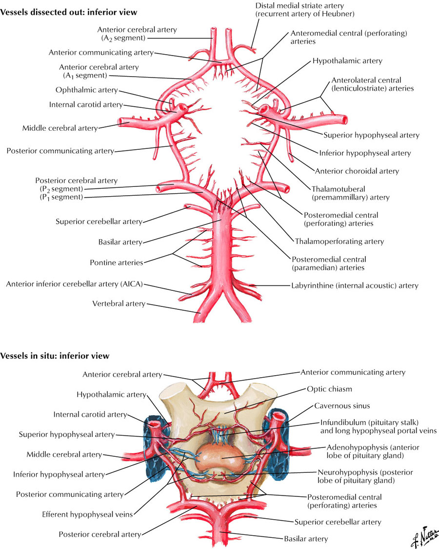 the circle of willis